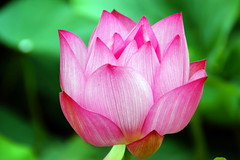 Lotus (ddsnet) Tags: plants lotus sony 350 aquatic aquaticplants       naturesfinest   plants  diamondclassphotographer flickrdiamond aquatic 350