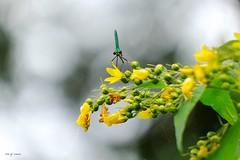 Droit dans le yeux (jpto_55) Tags: odonate insecte demoiselle xe1 fuji fujifilm fujixf55200mmf3548rlmois hautegaronne france bokeh proxi ngc flickrunitedaward