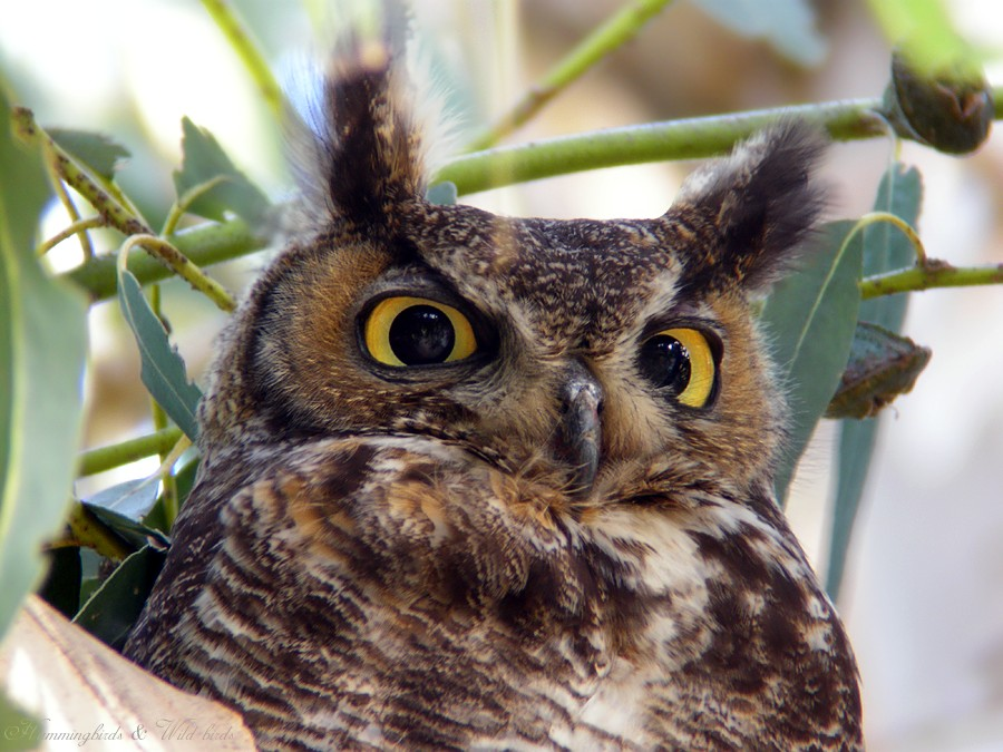 Great Horned Owl 05091