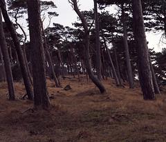 Mamiya RZ67  C  FujiProvia100F  Jravallen XXIII (Gustaf_E) Tags: winter sea tree pine analog mediumformat skne vinter sweden 120film tall sverige 6x7 trd hav resund 646 fujiprovia100f landskrona mamiyarz67 imacon jravallen mellanformat