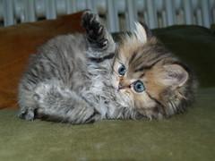 Hep ! (catherine.caf) Tags: cat persian kitten chat chaton persan abigfave kissablekat bestofcats superbmasterpiece diamondclassphotographer excapture thebiggestgroupwithallkindofanimals
