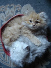 Sister and brother (catherine.caf) Tags: cat persian kitten chat searchthebest croquette chaton persan blueribbonwinner tigrou kissablekat superbmasterpiece thebiggestgroupwithonlycats