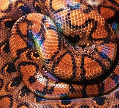 Detail (EcoSnake) Tags: brazil detail scales snakes reptiles herps boas irridescence rainbowboa brazilianrainbowboa epicratescenchriacenchria northwestcaptivebreedersexpo