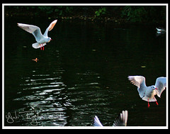 Join us - Black-Headed Gulls in St. James's Park (yukifujita) Tags: park england lake london birds st gull jamess larus ridibundus blackheaded