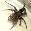 Pinned (zxgirl) Tags: arachnid parsonspider arachtober07