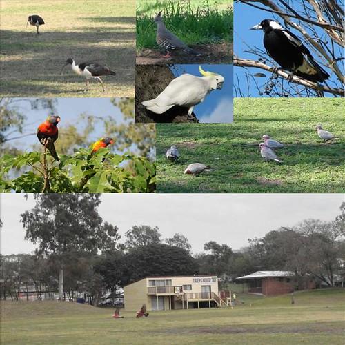 pássaros e a natureza de Brisbane, Austrália
