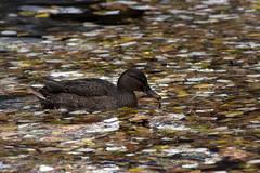 Rodeado de otoo (Leandro MA) Tags: otoo campogrande patos leandroma
