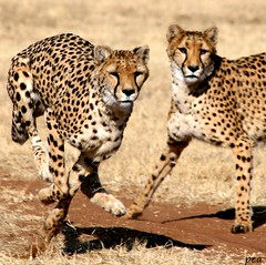 GHEPARDI (peo pea) Tags: africa nature animals bush wildlife natura safari cheetah namibia animali animale ccf ghepardi savana naturalmente naturesfinest 10faves specanimal otjiwarongo aplusphoto peopea wwfita