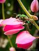 Abeja Metálica Verde - Green Metallic Bee (Karina Diarte de Maidana) Tags: green insect bee paraguay abeja greenmetallicbee platinumphoto augochloropsissp augochloropsis karinadiarte