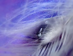 Feathered (Mary Trebilco) Tags: texture waterdrop text softness feathers feather drop mauve dictionary feathery imagepoetry whiteandpurple infinestyle superhearts photofaceoffwinner dictionaryofimage ~~wv~~