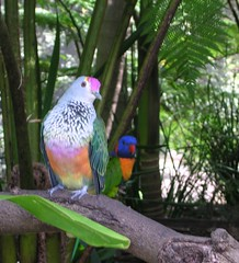 Rose-crowned Fruit-dove  - Australia Zoo (brewbooks) Tags: bird zoo dove australia aves queensland rainbowlorikeet animalia australiazoo beerwah trichoglossushaematodus columbidae trichoglossus chordata ptilinopusregina ptilinopus rosecrownedfruitdove psittacidae columbiformes psittaciformes loriinae
