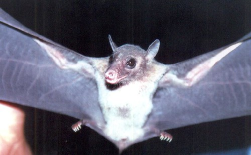 2230764486_3da8744cd4 - CRAZY ABOUT BATS! - Science and Research