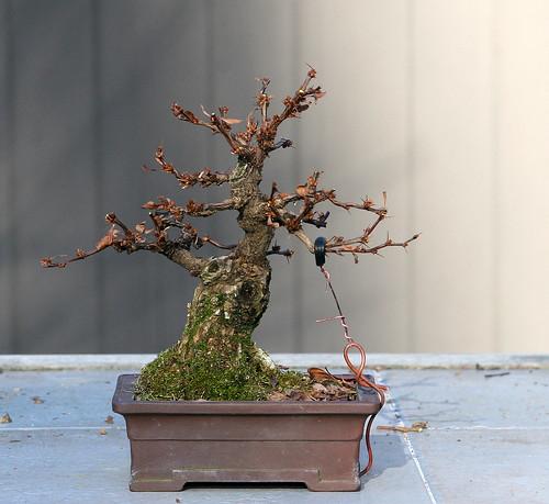 bonsai nurseries