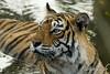 Cooling off - 1 (dickysingh) Tags: india outdoor tiger bigcat aditya predator ranthambore singh bengaltiger ranthambhore dicky naturesfinest wildtiger specanimal stalkingtiger adityasingh ranthamborebagh theranthambhorebagh projecttigerreserve wwwranthambhorecom
