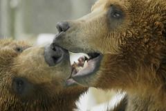 (ucumari photography) Tags: bear columbus animal mammal zoo indiana ursusarctos alaskanbrownbear supershot flickrsbest ucumari abigfave ucumariphotography anawesomeshot impressedbeauty