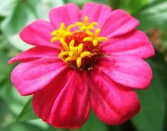 Zinnia (Pedro Cavalcante) Tags: fleur flora fuji finepix fujifilm blomma bunga 花 blume fiore blomst bulaklak hoa ua flore bloem lill פרח çiçek زهرة kwiat blodyn گل lule blom цвет cvijet λουλούδι cvet ดอกไม้ 6500 кветка gėlė květina kvetina цвете s6500 puķe फूल s6500fd floarea בלום fjura квітка bláthanna finepixs6500 finepix6500 pedrocavalcante kukkien virága