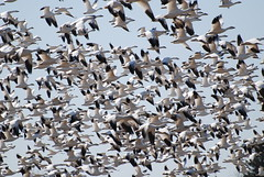 Snow Geese (trombh) Tags: birds snowgeese vermontbirds