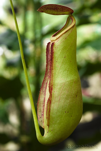 Kantong Semar-Genus Nepenthes