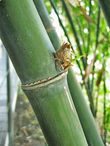 El bosc de bambús/ El bosque de Bambúes/ The bamboos wood