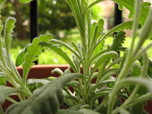20080426 - Lavender herb