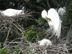 snowy egret (Lori Greig) Tags: white bird nature texas nest snowy feathers houston chicks migration egret rookery spoonbills audubon roseate highisland onlythebestare