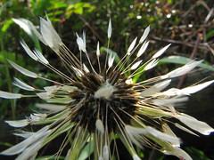 soggy dandelion