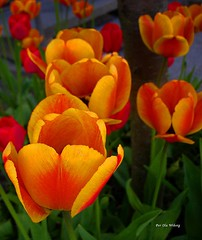 Cant get enough of them... (Per Ola Wiberg ~ Powi) Tags: flowers nature tulips sweden may darwin loveit harmony sverige 2008 maj aclass flowersgarden tulpaner blueribbonwinner supershot eker wrangels masterphotos perfectpetals mywinners abigfave diamondheart platinumphoto anawesomeshot colorphotoaward impressedbeauty flickrhearts citrit peacefulnature photostosmileabout brillianteyejewel exemplaryshotsflickrsbest coloredpetals everydayissunday theperfectphotographer coloursplosion naturemasterclass crazyaboutnature worldofflowers peaceawards photossansfrontires 4mazingorgeoushotsoflowers flowerbudsandblossoms colourvisions thegoldenflower wonderfulworldofflowers beautifulshot fotosconestilo floresporlapaz auniverseofflowers awesomeblossoms vosplusbellesphotos flickrflorescloseupmacros doubledragonawards photographerparadise theflowerbasket floresymasflores flowercauleleaf angelawards saariysqualitypictures tif angelgallery beautifulfloras naturesgreenpeaceaward diamondnaturestyle thenaturessoul elisfavoriteflowers floresfioretuttifiori