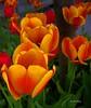 Cant get enough of them... (Per Ola Wiberg ~ powi) Tags: flowers nature tulips sweden may darwin loveit harmony sverige 2008 maj aclass flowersgarden tulpaner blueribbonwinner supershot ekerö wrangels masterphotos perfectpetals mywinners abigfave diamondheart platinumphoto anawesomeshot colorphotoaward impressedbeauty flickrhearts citrit peacefulnature photostosmileabout brillianteyejewel exemplaryshotsflickrsbest coloredpetals everydayissunday theperfectphotographer coloursplosion naturemasterclass crazyaboutnature worldofflowers peaceawards photossansfrontières 4mazingorgeoushotsoflowers flowerbudsandblossoms colourvisions thegoldenflower wonderfulworldofflowers ♡beautifulshot♡ fotosconestilo floresporlapaz auniverseofflowers awesomeblossoms vosplusbellesphotos flickrflorescloseupmacros doubledragonawards photographerparadise theflowerbasket floresymasflores flowercauleleaf angelawards saariysqualitypictures ☼θβĵ€кtif☼ angelgallery beautifulfloras naturesgreenpeaceaward ✿diamondnaturestyle✿ thenaturessoul elisfavoriteflowers floresfioretuttifiori