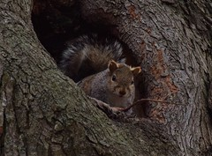 Squirrel hole (marensr) Tags: gray squirrel nest tree hole branches nature mammal animal chicago