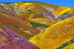 temblor range from the carrizo plain (Marc Crumpler (Ilikethenight)) Tags: california usa mountains canon landscape spring hiking hills wildflowers blm carrizoplain kerncounty temblorrange thepowerofnow canon70300isusm springcolor 40d canon40d temblormountains ilikethenight marccrumpler