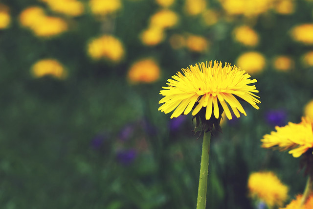 Day 254 - Dandy Dandelion