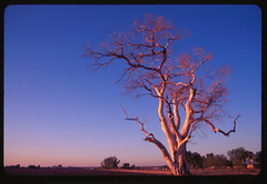 (aruubuttersscotch) Tags: arizona 35mm fuji farmland slidefilm velvia 50iso minoltamaxxum marana hugetree
