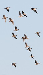 Pinkfoot Geese in Flight (Jim Taylor1) Tags: pinkfoot vanefarm