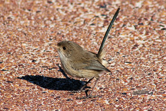 White-winged Fairy Wren - female or juvenile (cosmos38 - the real one) Tags: birds dunes oceanreef fairywrens whitewingedfairywren malurusleucopterus