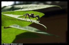 spider_telamonia sp. (Naseer Ommer) Tags: india spider kerala arachnids southindia araenae naseerommer southindianspiders telamoniasp