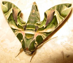Oleander hawk-moth -   (yoel_tw) Tags: butterfly insect moth soe hawkmoth naturesfinest  oleanderhawkmoth daphnisnerii   specanimal abigfave  anawesomeshot unature diamondclassphotographer flickrdiamond bestofbestnature  buzznbugz floraandfaunaoftheworld goldstaraward   macrosdenaturaleza sphingidaemundi
