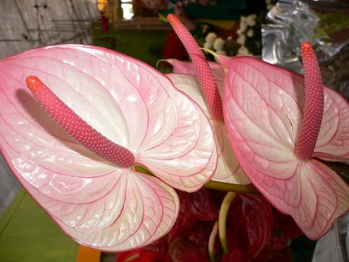 Pink Anthurium (Flamingo Flower)