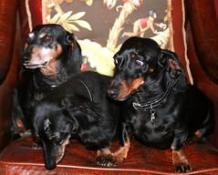 Group Photo Failure (Four Doxn) Tags: nick joe sonny dachshunds notintoit readytobolt ilovethelookonsonnysface