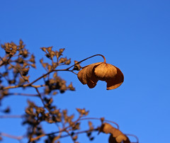 Klatrehortensia etter blomstring (randihausken) Tags: autumn hst hortensia hydrangeapetiolaris thegoldenmermaid