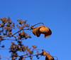 Klatrehortensia etter blomstring (randihausken) Tags: autumn høst hortensia hydrangeapetiolaris thegoldenmermaid
