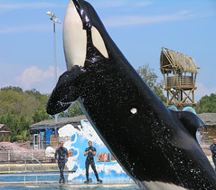 Marineland - orcashow 4 (Romeodesign) Tags: show water french jump riviera orca splash killerwhale themepark marineland biot grampus