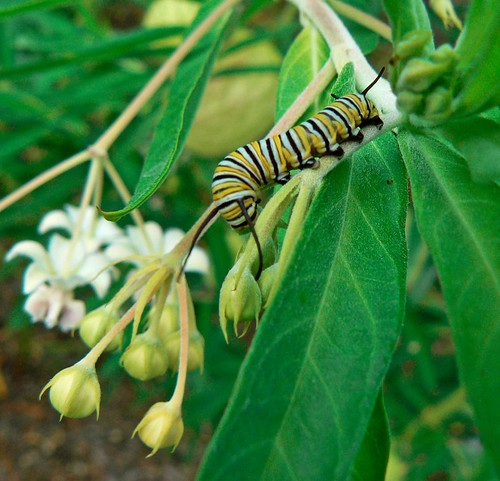 Monarch Caterpillar on African Milkweed