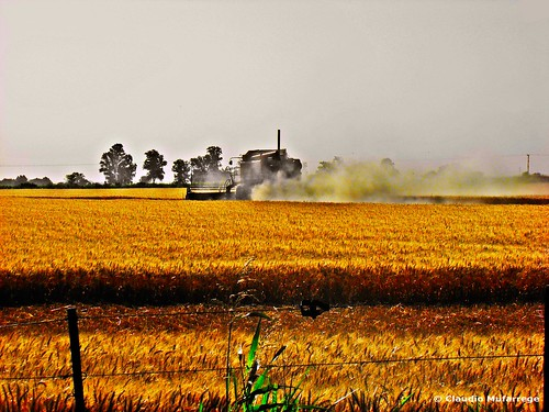 Cosechando trigo / Harvesting wheat 002