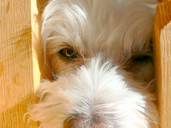 Cameron the Bichon squinting in the sun (garyhymes) Tags: wood shadow dog pet sunlight cute love look animal puppy fur nose eyes december looking steps cameron squint bichon bichonfrise snowwhite doggie snowwhitedogs