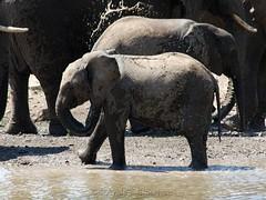 Splash! (Makgobokgobo) Tags: africa elephant mammal botswana immature tuli loxodonta loxodontaafricana mashatu tfca northerntuligamereserve limpoposhashetransfrontierconservationarea notugre mashatumaincamp transfrontierconservationarea