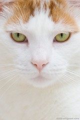 Handsome in White (neilcreek) Tags: family pet white cute face closeup cat fur relax nose ginger eyes feline close lounge chibi whiskers domestic lazy pure