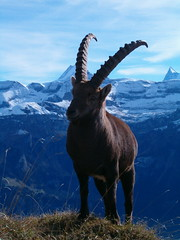 Steinbock unterhalb Augstmatthorn im Brienzergrat im Berner Oberland im Kanton Bern in der Schweiz (chrchr_75) Tags: schnee wild mountain snow mountains alps love nature berg animal animals fauna landscape schweiz switzerland tiere suisse hiking wilde swiss wildlife natur pic berge mountaineering l bern hiker alpen christoph svizzera landschaft berne soe wandern berner interlaken tier harder 0511 berna capricorn wanderung berneroberland oberland schreckhorn finsteraarhorn augstmatthorn kanton wanderwege schonegg tierwelt kantonbern brn lauteraarhorn hurni suggiture wintereg albumaugstmatthorn05 albumwildetiere