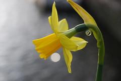 Narcis (***Roel***) Tags: flower netherlands amsterdam europe 2008 narcis jordaan februari hilletjesbrug