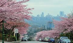 Cherry blossom (jeslu) Tags: road vancouver cherry bc blossom burnaby cherryblossom