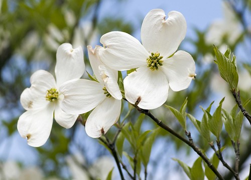 dogwood north carolina s state flower this is our